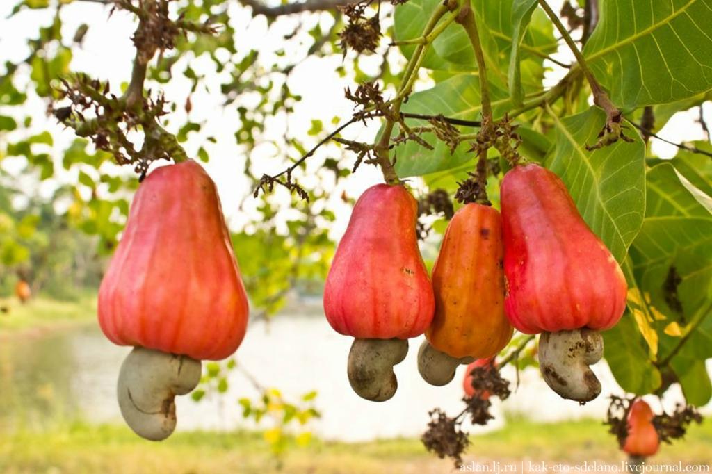 Как выглядит яблоко кешью кешью, только, самом, можно, освежающий, получая, сахаром, обогащают, напитков, водой, разбавляют, дистиллируется, перерабатывается, традиций, местных, зависимости, выглядит, компотов, спиртных, кажуина