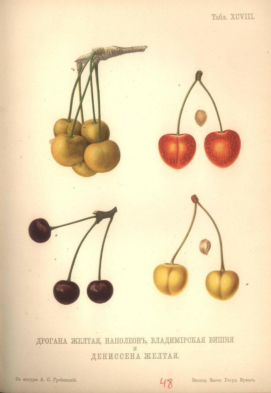 95. Дрогана желтая, Наполеон, Владимирская вишня и Дениссена желтая