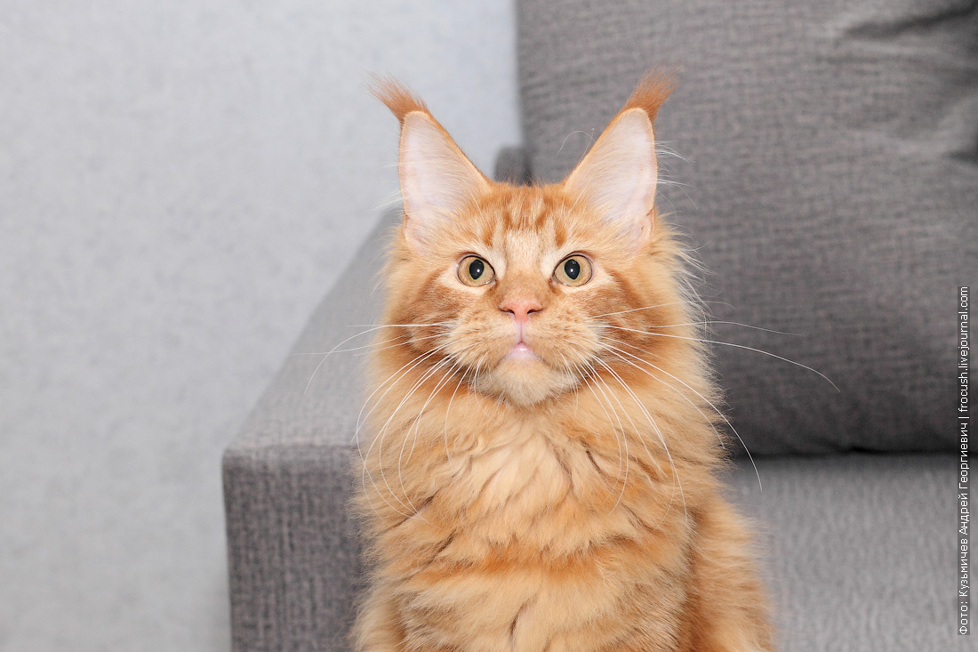 красный кот Мейн-кун