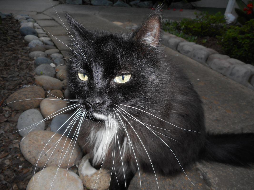 Однобровый кот