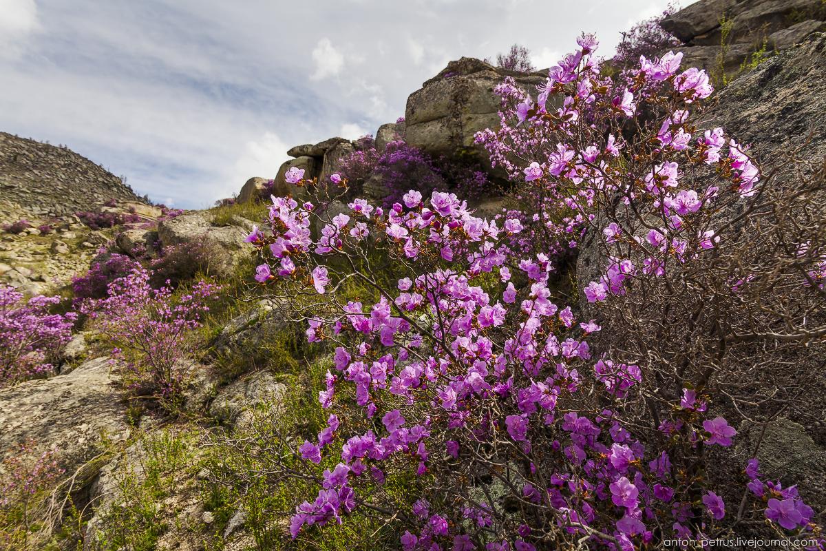 Цветение маральника, Алтай