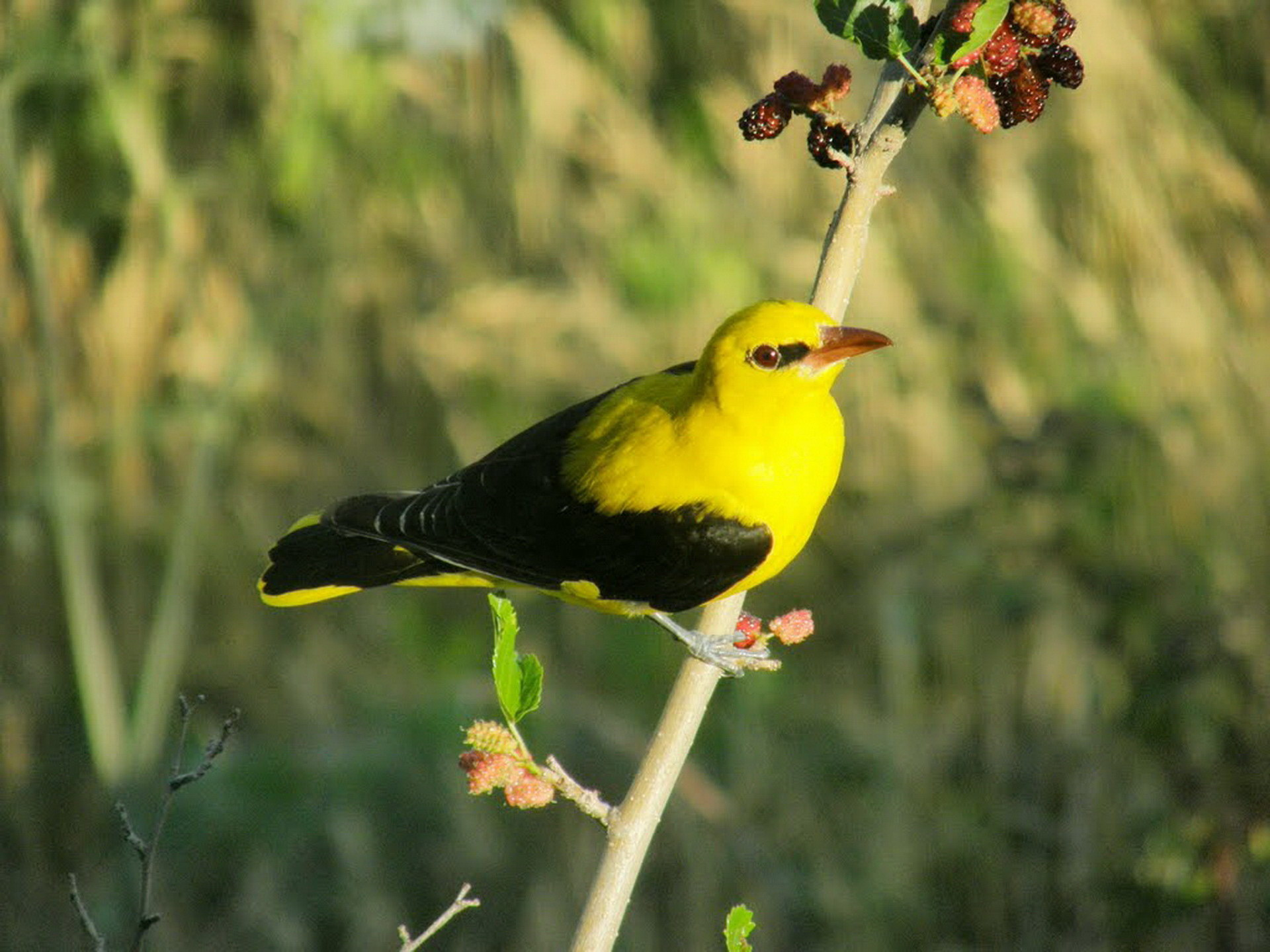 Жовтенька пташка