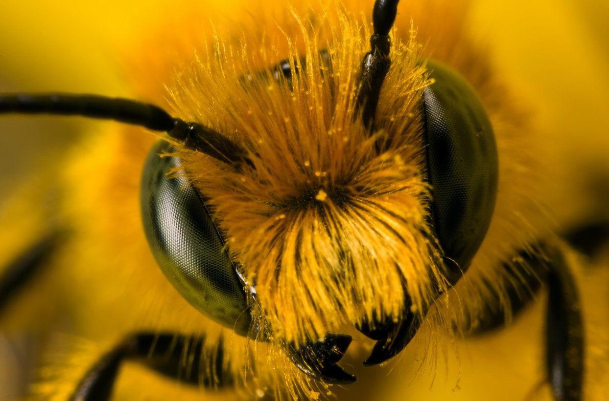 Портрет бджоли