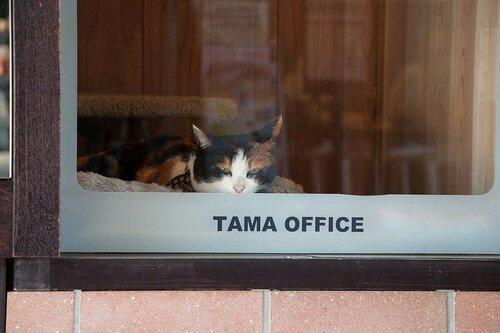Кошка Тама на своём рабочем месте