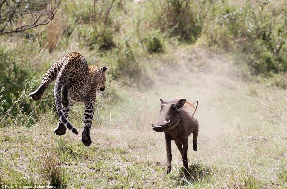 И тут леопард взмыл в воздух. Казалось, что хищник летит над беспомощным бородавочником.