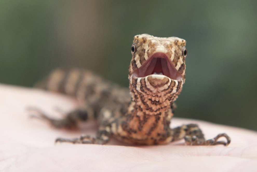 10. Маленький бегемот. Интерес. (Фото Angela Hatke | Cincinnati Zoo Botanical Garden):
