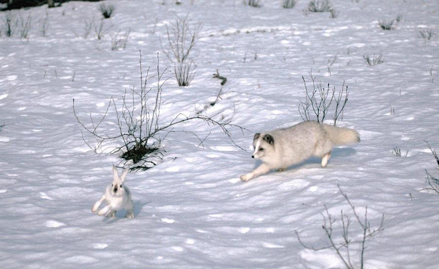 1. Арктический заяц. Арктические зайцы встречаются в основном на севере Канады и Гренландии — и эти