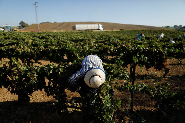 A woman collects grapes at a vineyard in Vega de los Molinos, part of the white village of Arcos de
