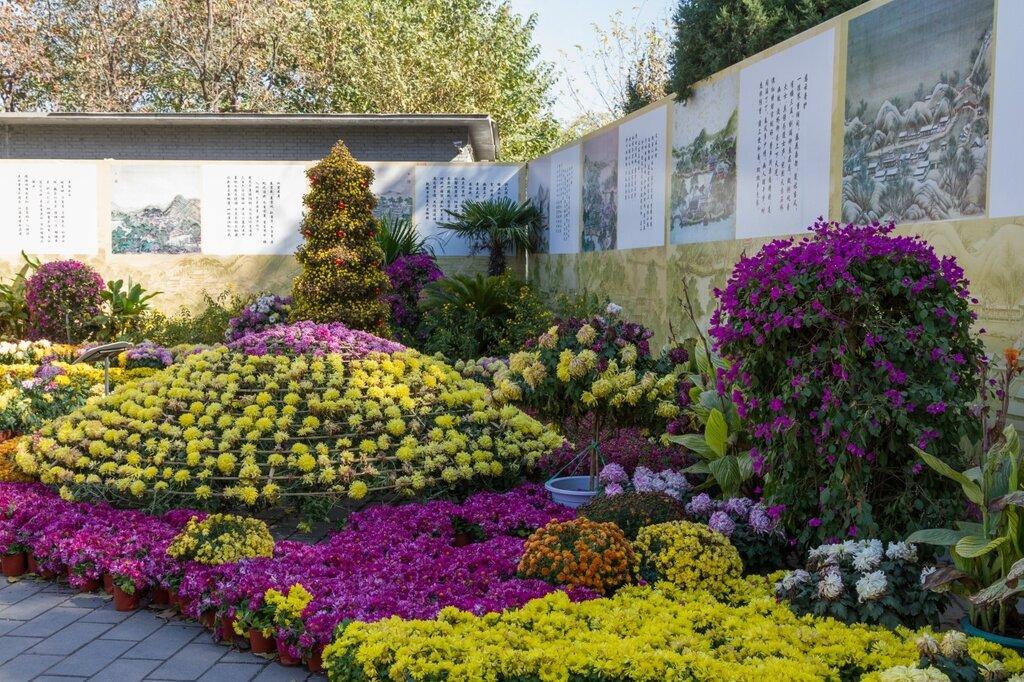 Выставка хризантем в Юаньминъюане