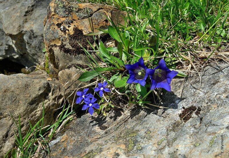 простые горные цветы