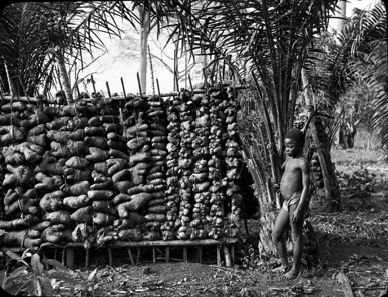 Берег Слоновой Кости. Ассинзе. Собранный ямс. Мальчик рядом с пальмой