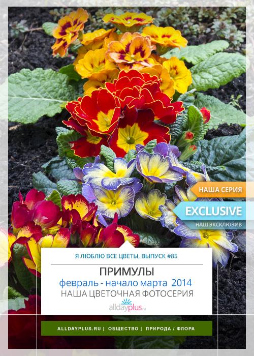 С праздником дорогие женщины !!! | Я люблю все цветы, выпуск 85 | Примулы - ключи, открывающие дорогу весне.