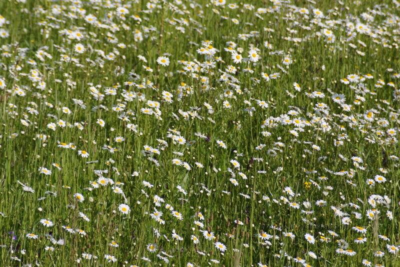 Полевые цветы, ромашки