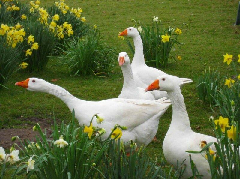 В одном из парков Сакраменто поселились боевые гуси