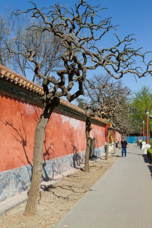 Деревья около Зала созерцания добродетели (Гуаньдэдянь), Парк Цзиншань, Пекин