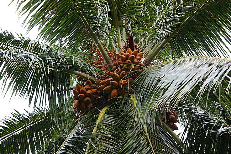 фото банановые пальмы