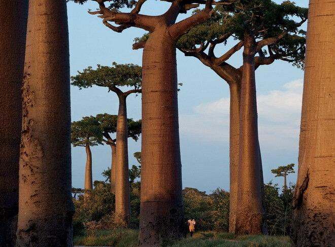 Аллея баобабов. Мадагаскар