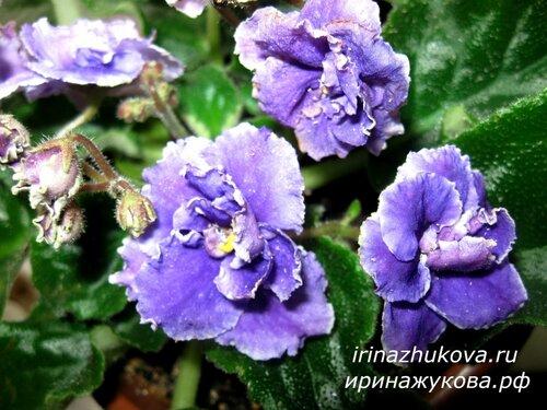 Фото красивых комнатных цветов, фото фиалок