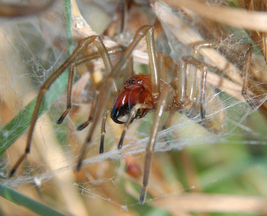 Странствующий паук википедия