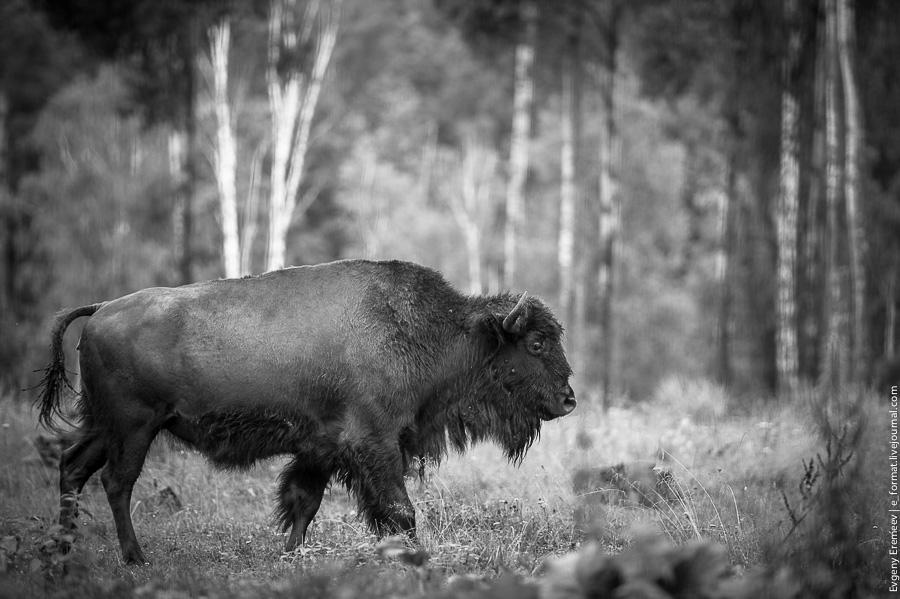 Зубры, бизоны