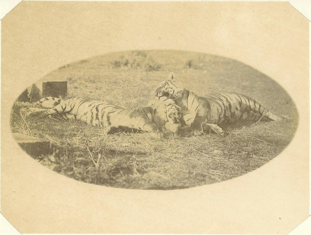 Охота на тигров. 1874.