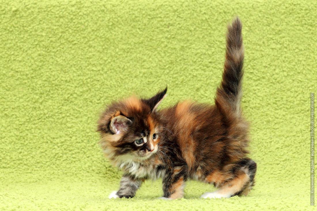 из питомника котята Мейн-кун