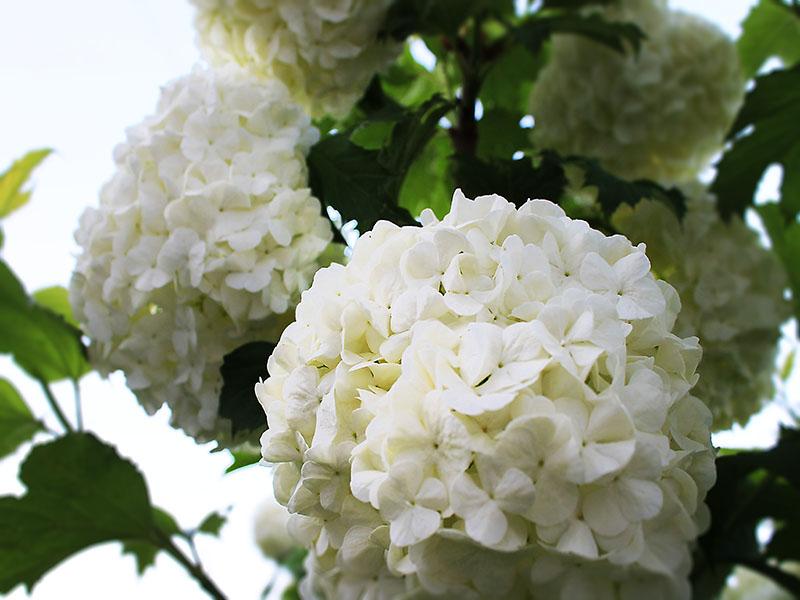 12 Многолетников для цветников, не требующие ухода - Калина Буль-де-неж