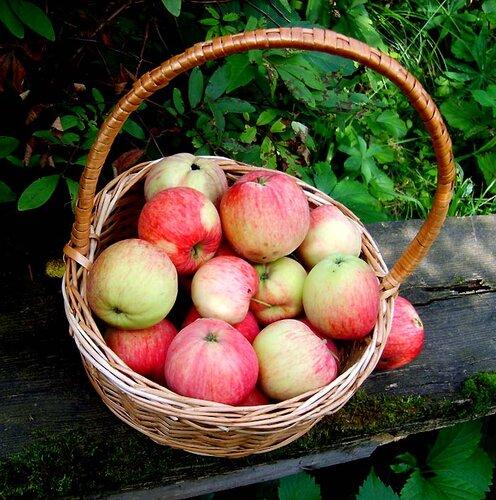 дача в Перхушково, осень, яблоки
