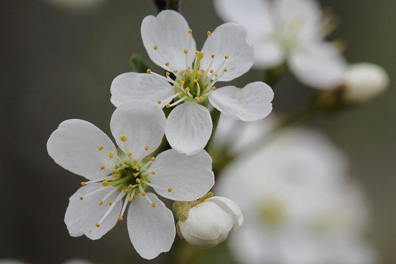 Белые цветки вишни с белыми лепестками и жёлтыми тычинками