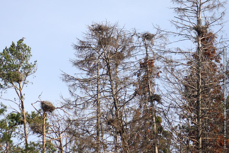 гнездо Серой цапли на дереве