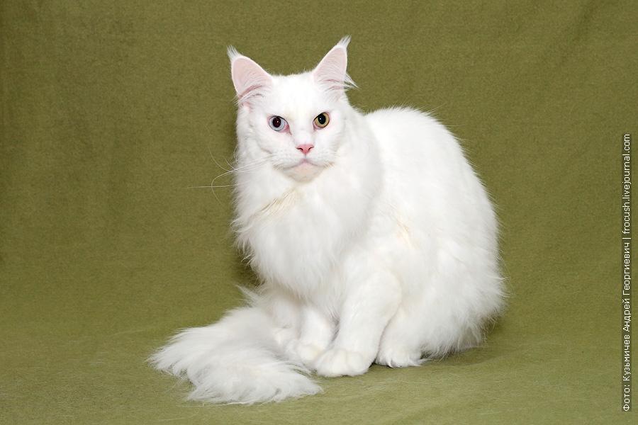 Москва кот Мейн-кун