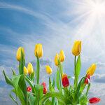 Tulips (8).jpg