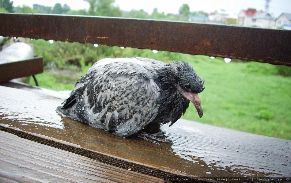 Эпидемия среди голубей в твери и в других городах, включая м.