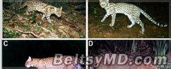В Бразилии обнаружили неизвестный вид диких кошек