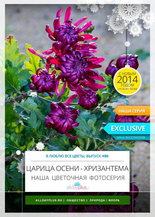 Я люблю все цветы, выпуск 80 | Царица осени - хризантема.