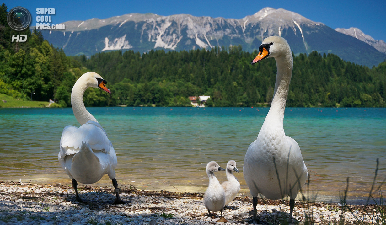 Magestic swan magestic lake