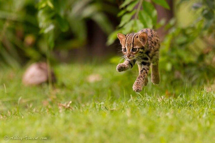 Levitating Leopard Cat - Leopard Cat Cub (female), Khao Kheow Open Zoo, Chonburi, Thailand - KKC 4942