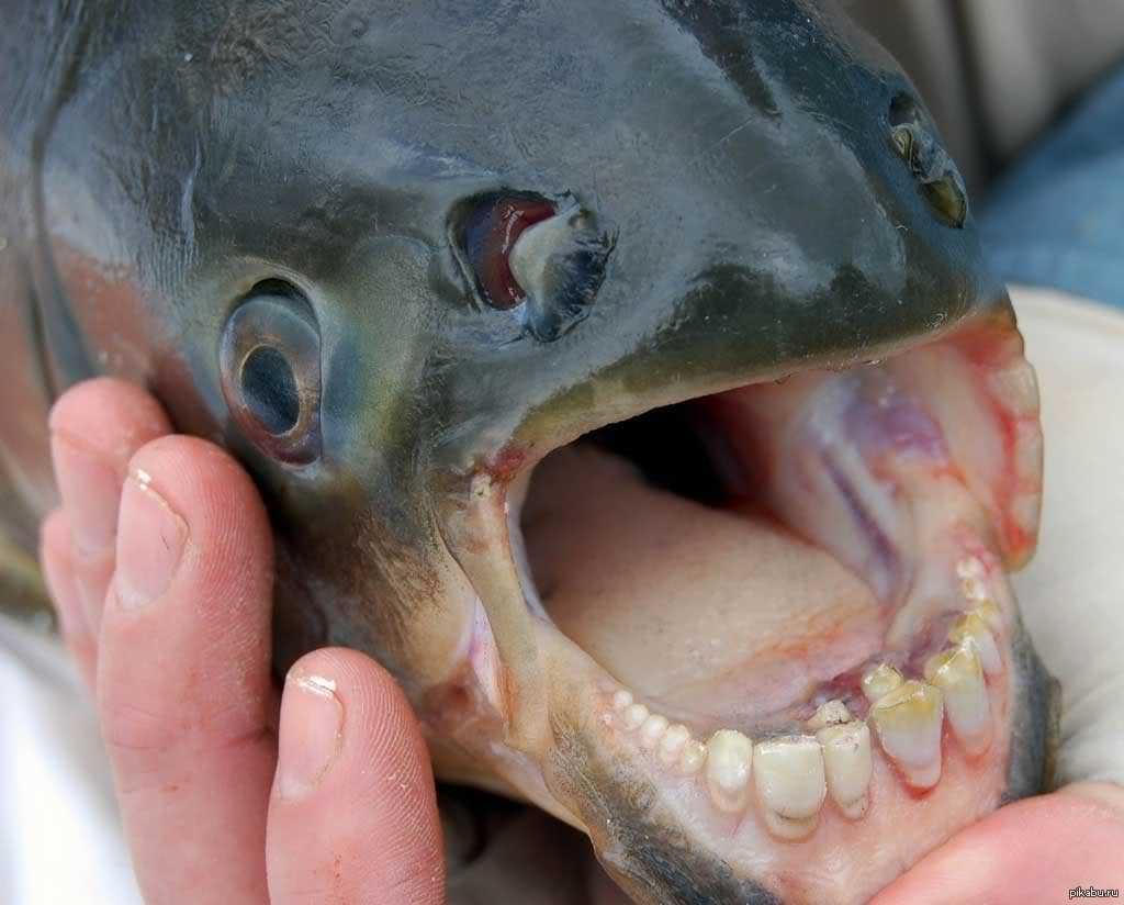 Картинки по запросу рыба с человеческими зубами