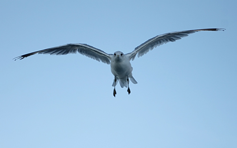 Baltic Seagull