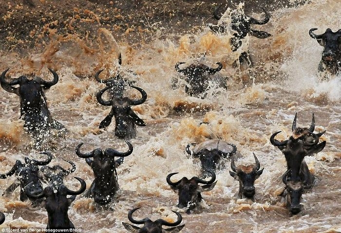 0 d406c f692f189 orig Великая миграция антилоп гну