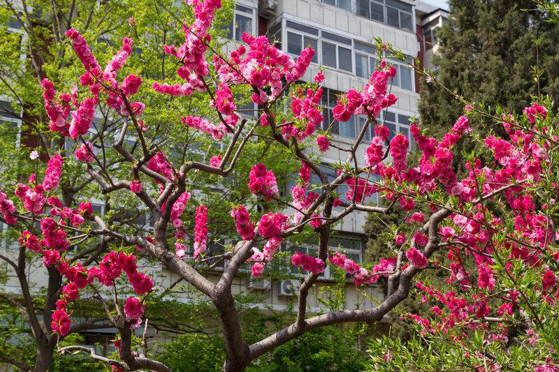 Сакура в цвету, Пекин
