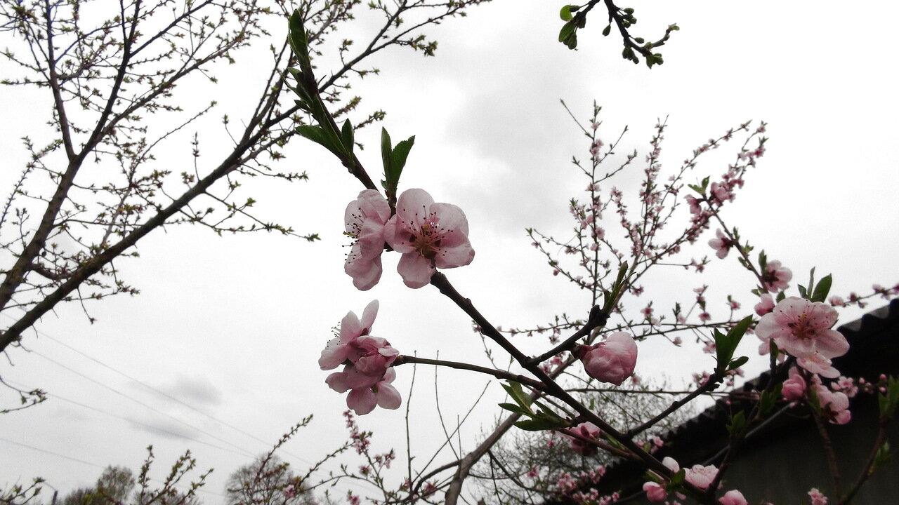 Цветёт весна под окном.