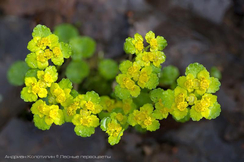 цветение селезеночника