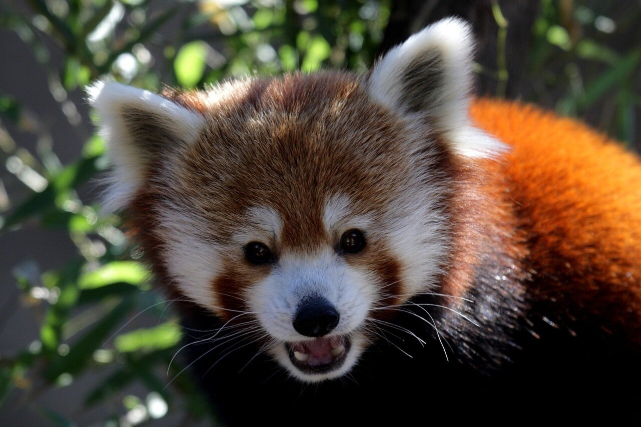 red panda Red pandas in the wild are endangered due to habitat loss, but can be found at philadelphia zoo in carnivore kingdom.