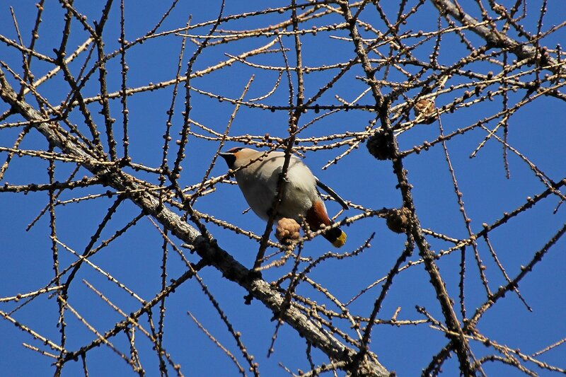 Свиристель (Bombycilla garrulus) на лиственнице в Гагаринском парке
