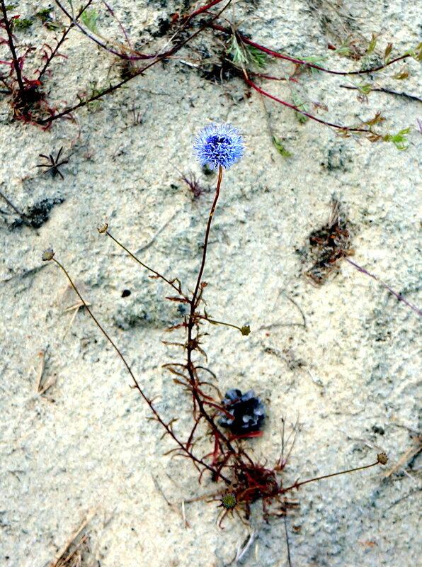 Цветы на песках