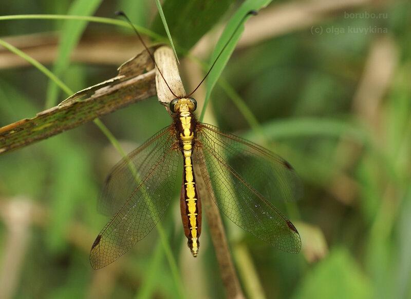 Аскалаф (Ascalaphidae)