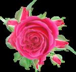 NLD Rose 4.png
