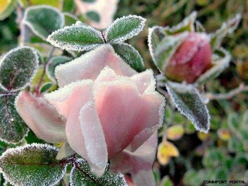 Роза в морозном инее открытка поздравление картинка