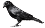 crow_6_by_peroni68-d3im414.png